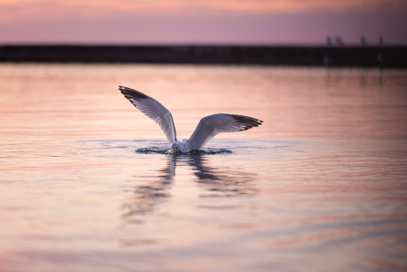 A seagull nose-dives into Lake Ontario in search of food.