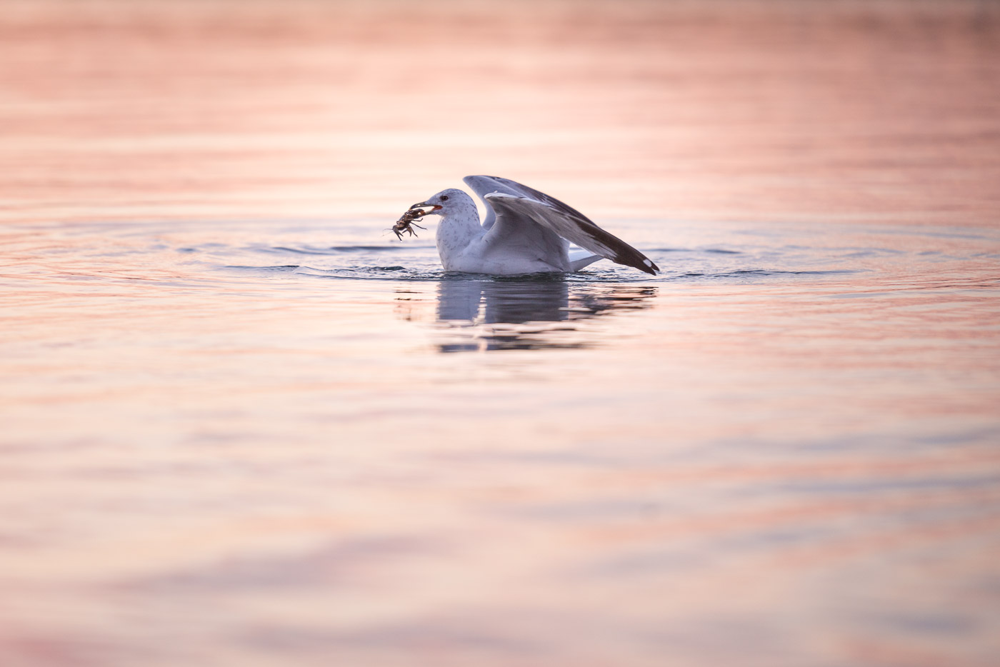 A seagull catches a crayfish from Lake Ontario.