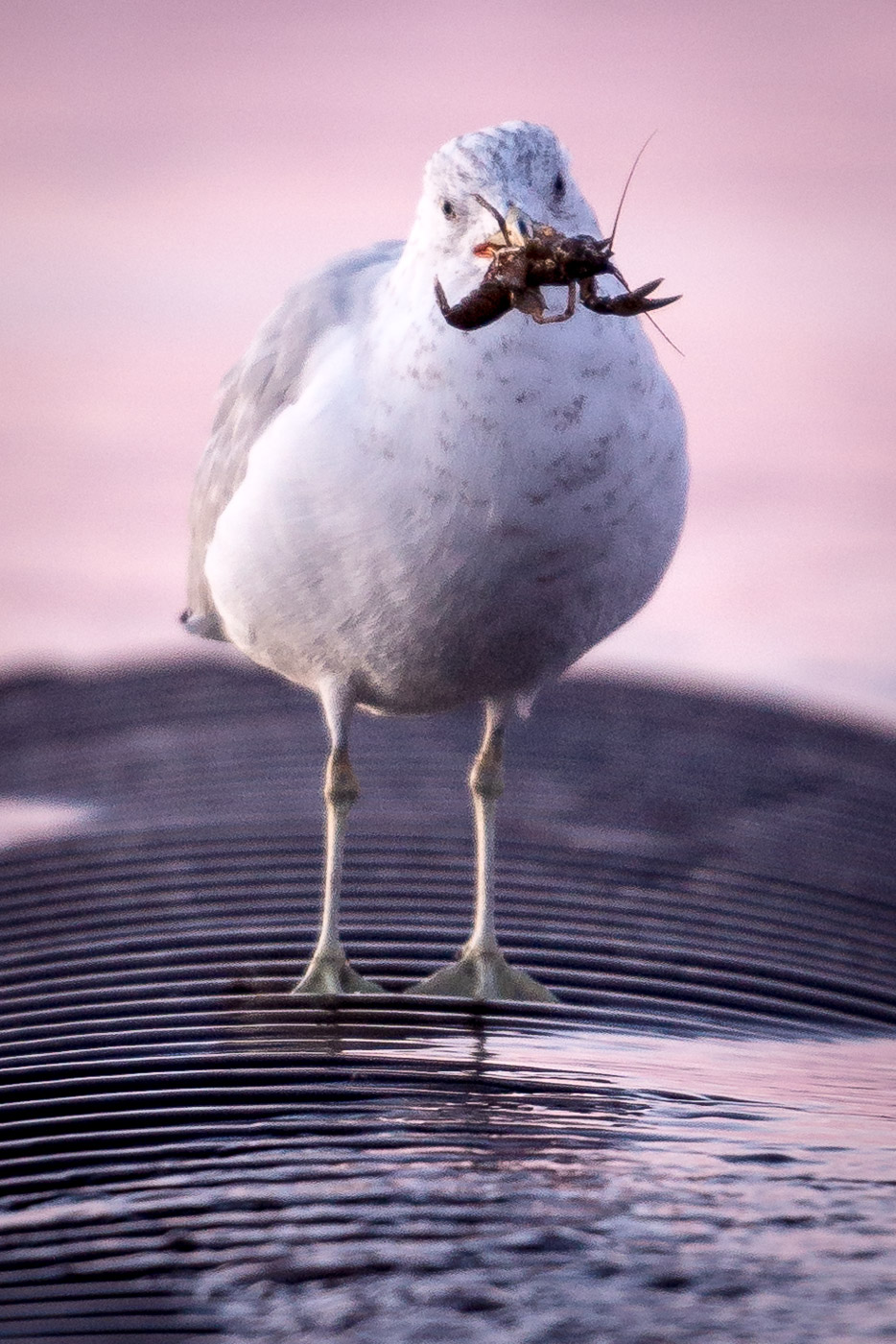 Seagull grasping a crayfish in its beak.