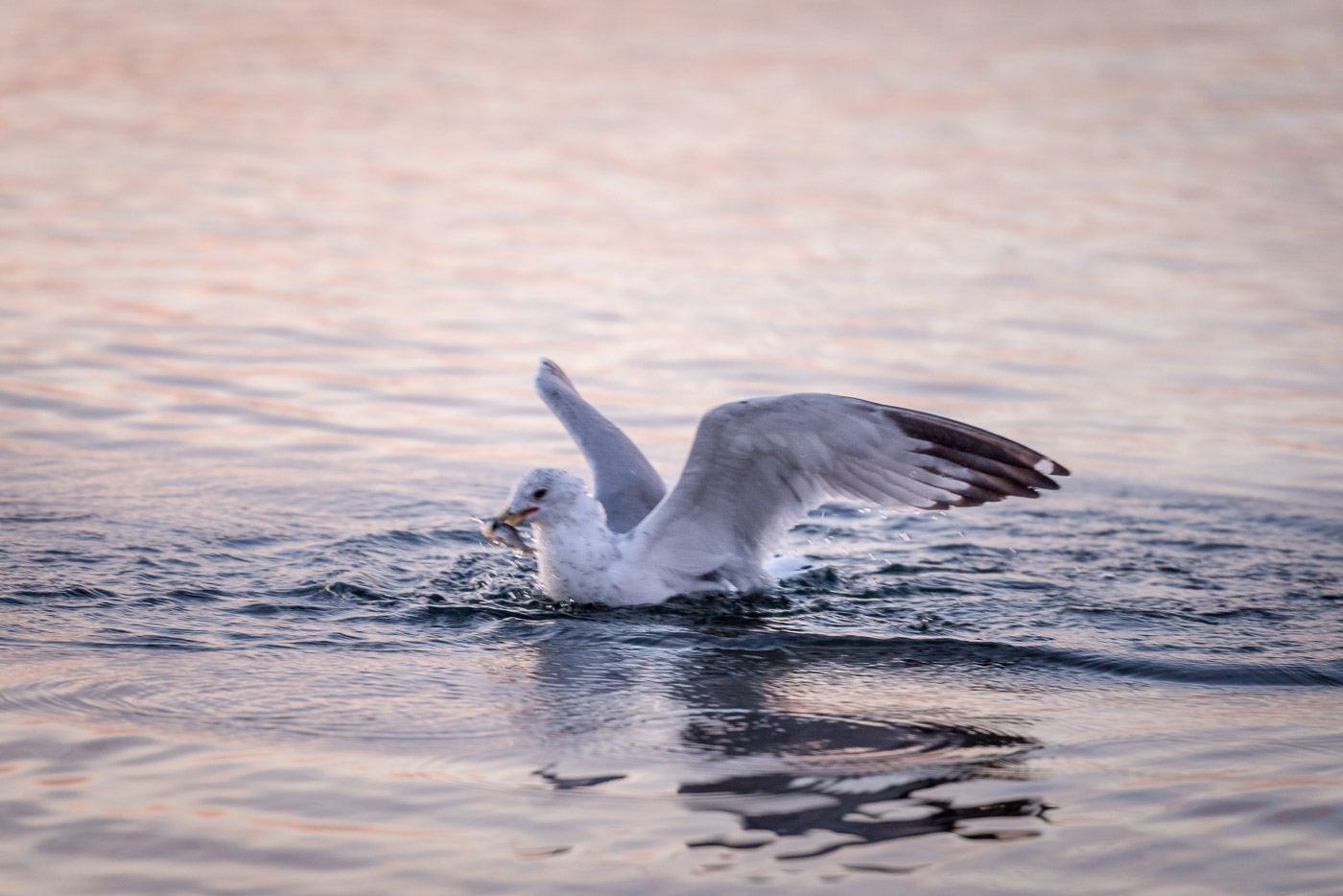 Seagull captures a fish in Lake Ontario.